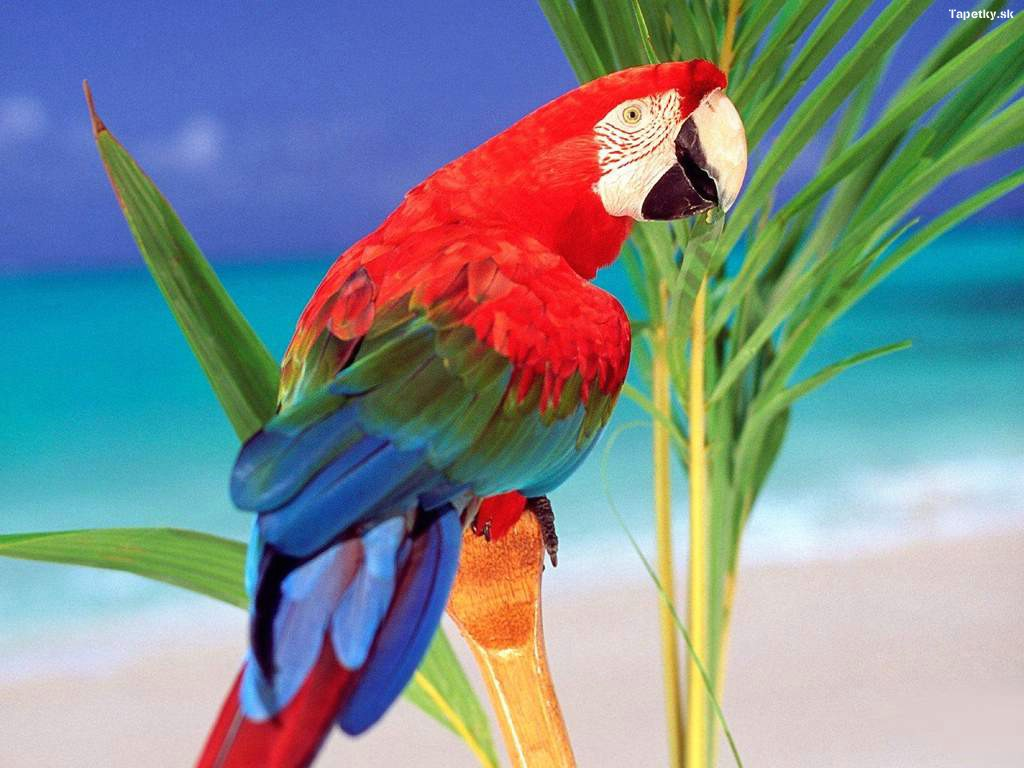 Popis: papagáj ara tapeta na plochu , pozadie , wallpaper