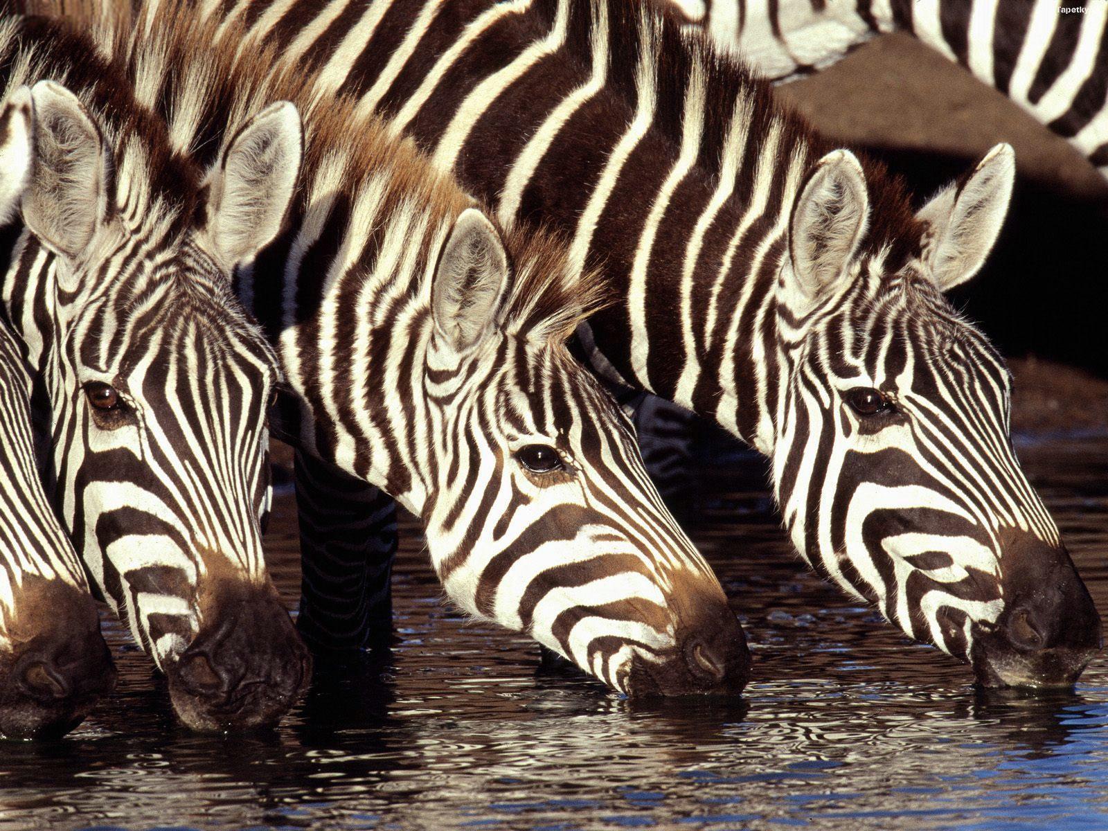 Zebry pri vode
